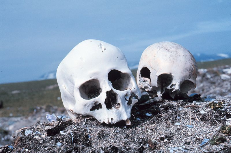 Skulls on the beach of Punuk Island Alaska